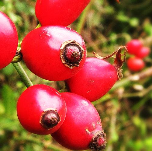 Aceite de rosa mosqueta propiedades