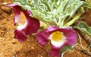 Planta del harpagofito, flores y raíces