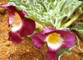 Planta del harpagofito