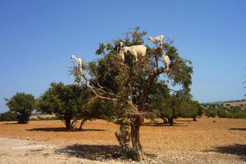 arbol argania spinosa cabras