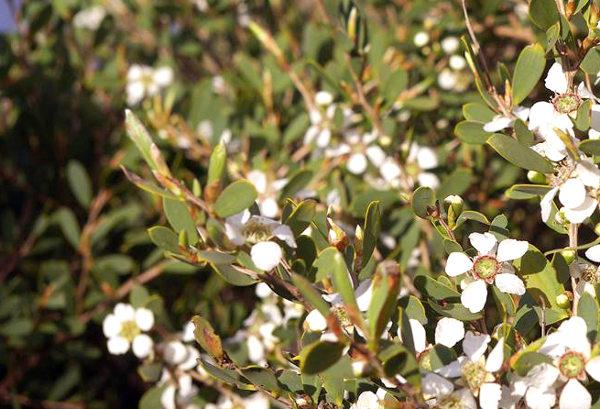 Flores blancas y hojas del árbol de té