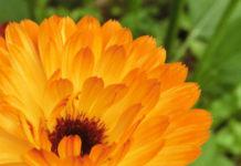 Aceite de caléndula para pieles sensibles con propiedades antiinflamatorias