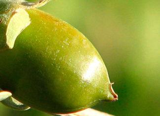 Fruto de jojoba del cual se extrae el aceite