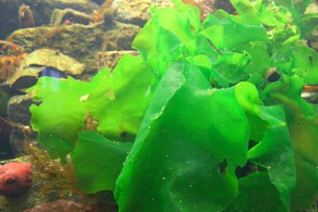 propiedades y contraindicaciones del alga nori