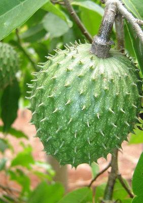 planta graviola