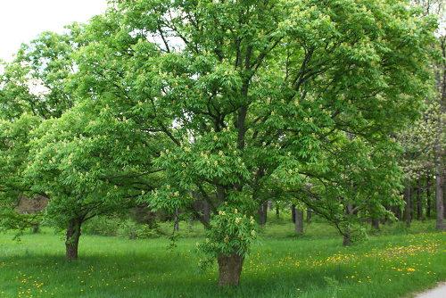 castaño de indias arbol