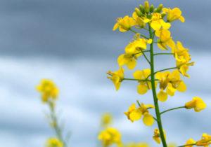 flor y semillas de canola