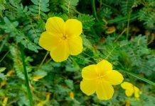 planta tribulus